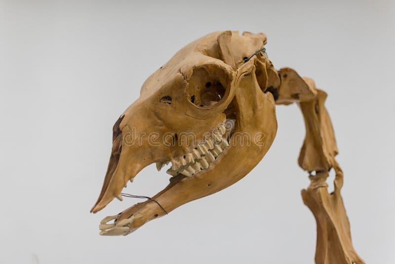 Lo scheletro del lama, è un camelid sudamericano domestico, Linneo, 1758 immagine stock