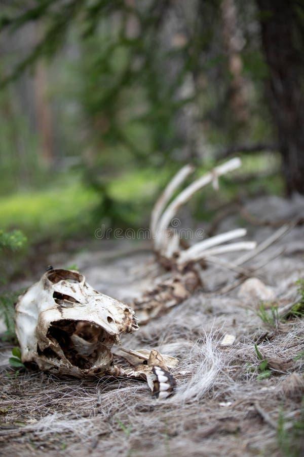 Lo scheletro di una pecora del Big Horn nella foresta a Rocky Mountain National Park fotografia stock libera da diritti
