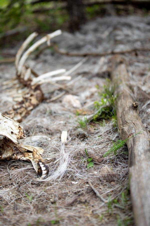 Lo scheletro di una pecora del Big Horn nella foresta a Rocky Mountain National Park immagini stock libere da diritti