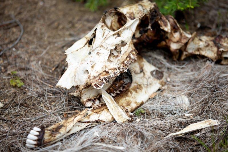 Lo scheletro di una pecora del Big Horn nella foresta a Rocky Mountain National Park fotografia stock