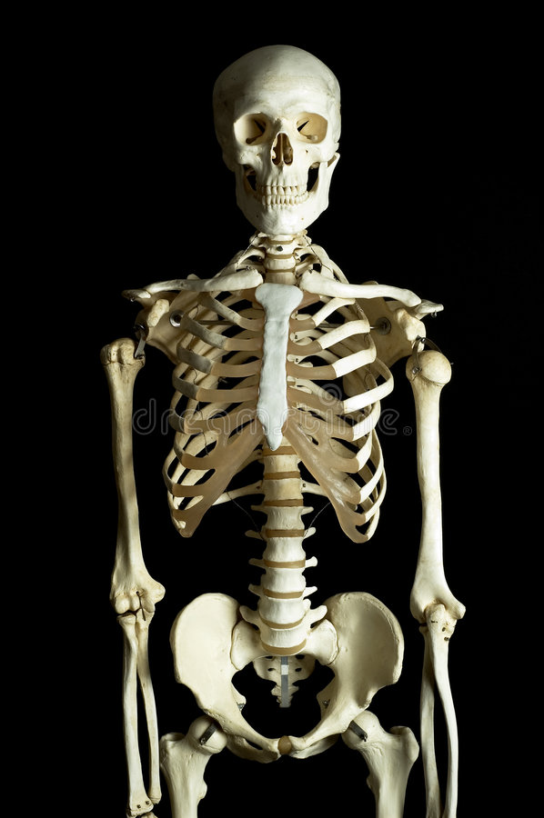 Lo scheletro umano immagine stock libera da diritti