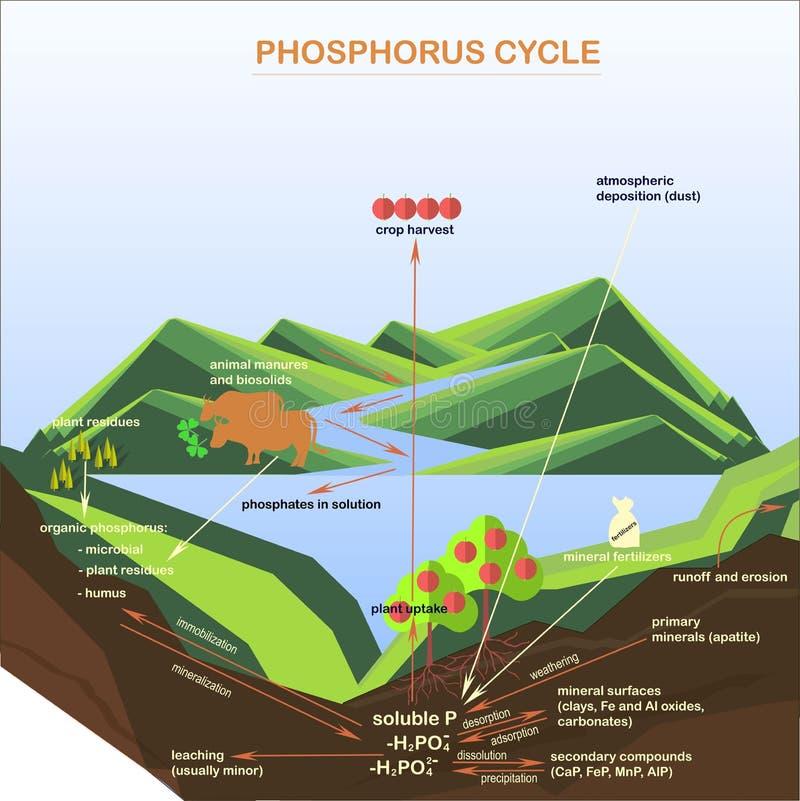 Lo schema del ciclo del fosforo, appartamenti progetta illustrazione vettoriale
