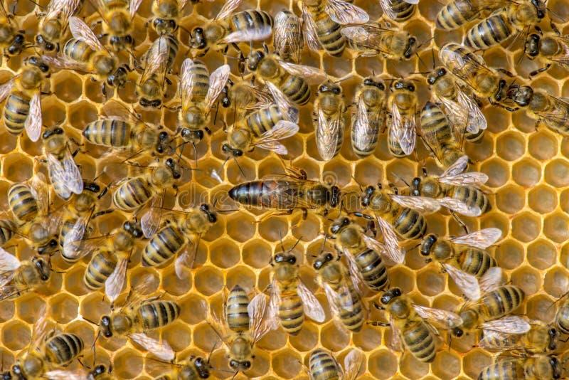 Lo sciame dell'ape regina fotografia stock libera da diritti
