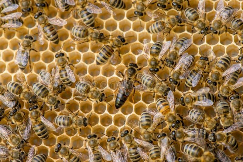 Lo sciame dell'ape regina fotografia stock