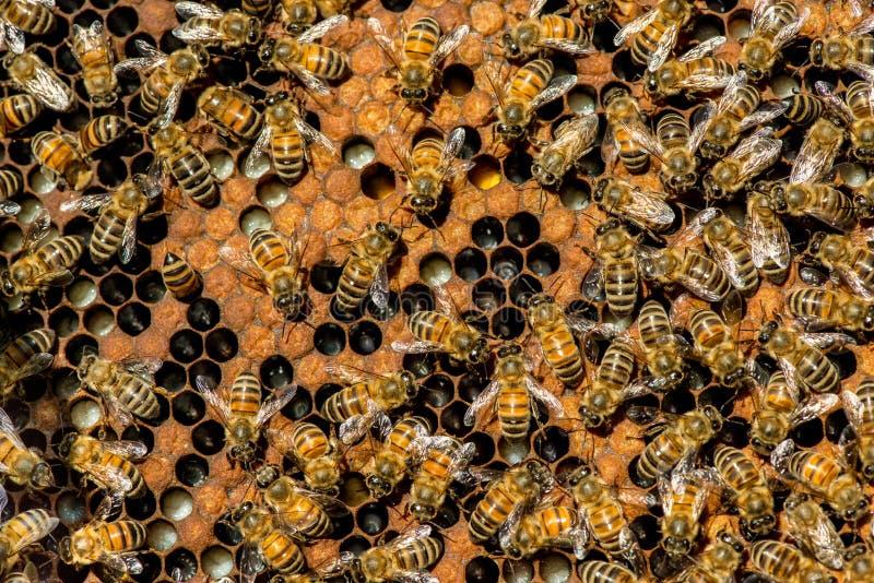 Lo sciame dell'ape regina fotografie stock libere da diritti