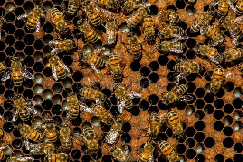 Lo sciame dell'ape regina immagini stock libere da diritti