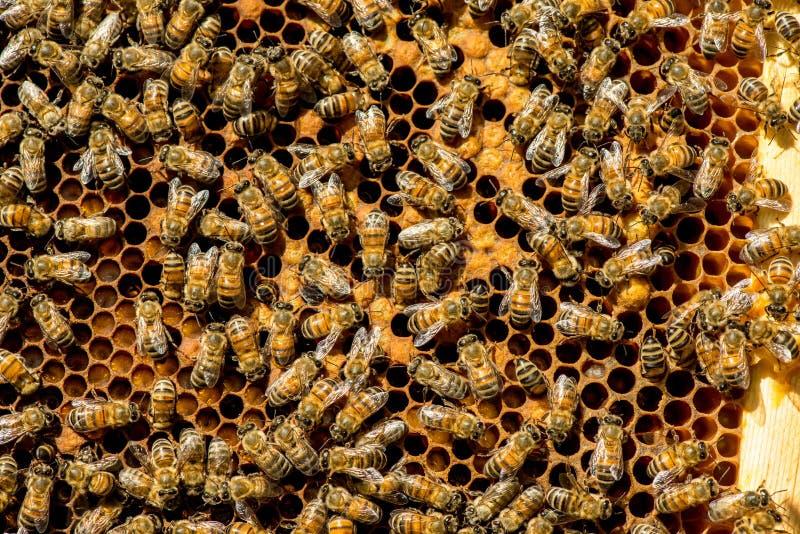 Lo sciame dell'ape regina immagini stock