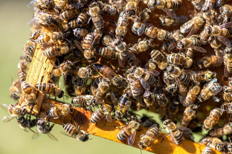 Lo sciame dell'ape regina - fuoco selettivo immagine stock libera da diritti