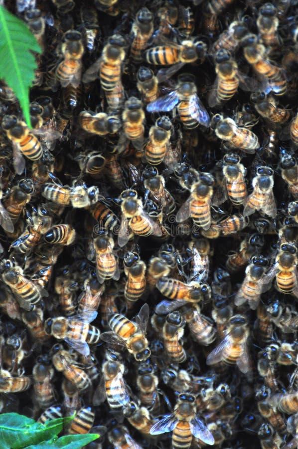 Lo sciame delle api ha ragruppato su un albero che protegge la loro regina immagini stock