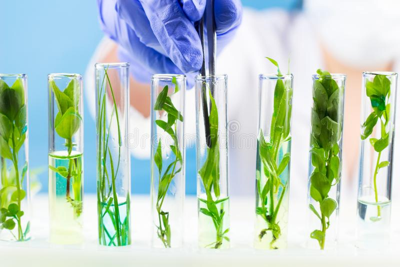 Lo scienziato con le pinzette tiene la pianta in una provetta fotografia stock libera da diritti
