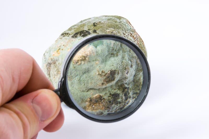 Lo scienziato definisce del genere, dell'ispezione di spore o della muffa di prova sui frutti o delle verdure con la lente d'ingr fotografia stock libera da diritti