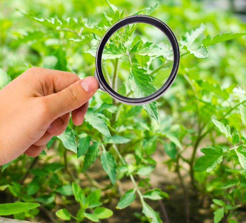 Lo scienziato dell'alimento controlla i pomodori per vedere se ci sono i prodotti chimici ed antiparassitari verdure sane utili p fotografia stock