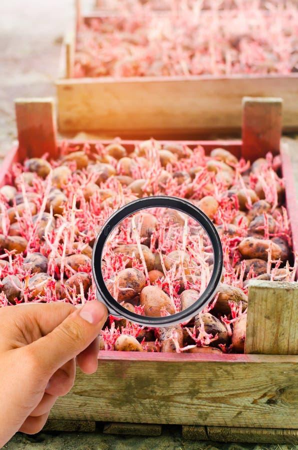Lo scienziato dell'alimento controlla le patate per vedere se ci sono i prodotti chimici ed antiparassitari Verdure utili pomolog immagini stock