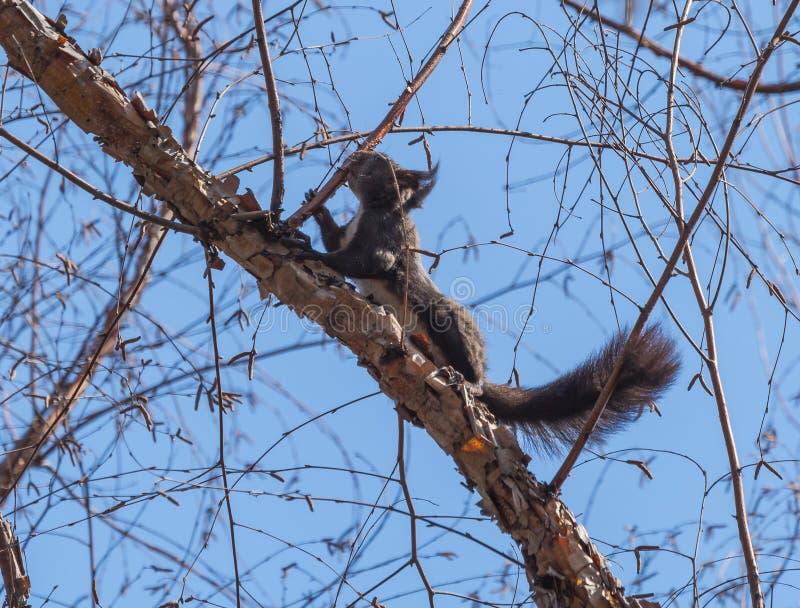 Lo scoiattolo fotografie stock libere da diritti