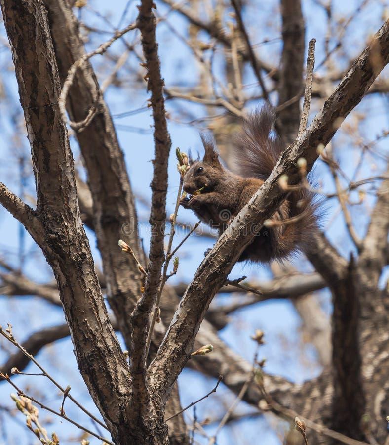 Lo scoiattolo fotografia stock libera da diritti