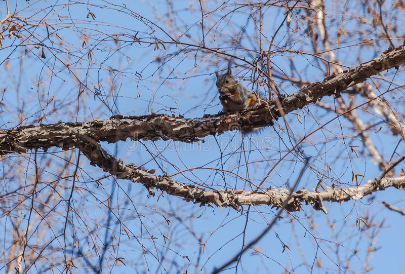 Lo scoiattolo immagini stock libere da diritti