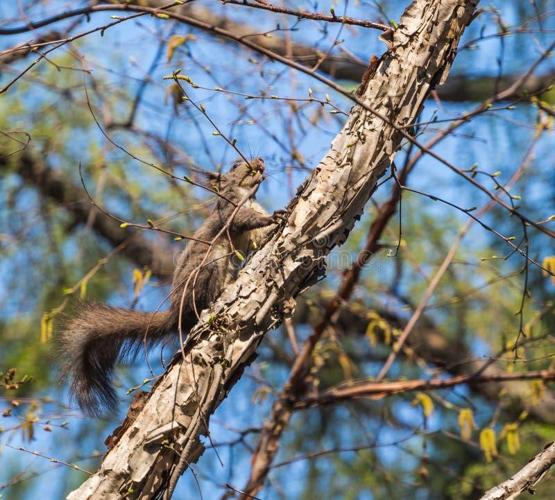 Lo scoiattolo fotografia stock