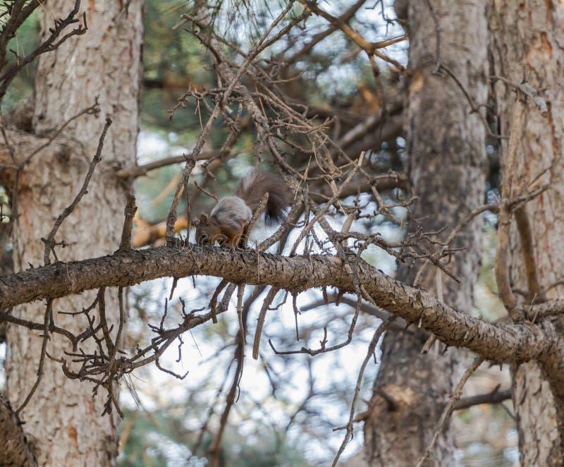 Lo scoiattolo immagine stock libera da diritti