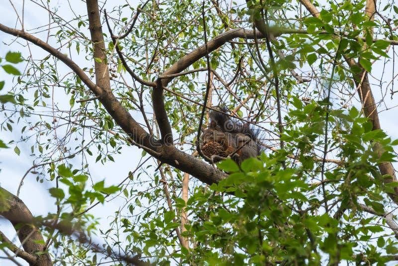 Lo scoiattolo immagine stock