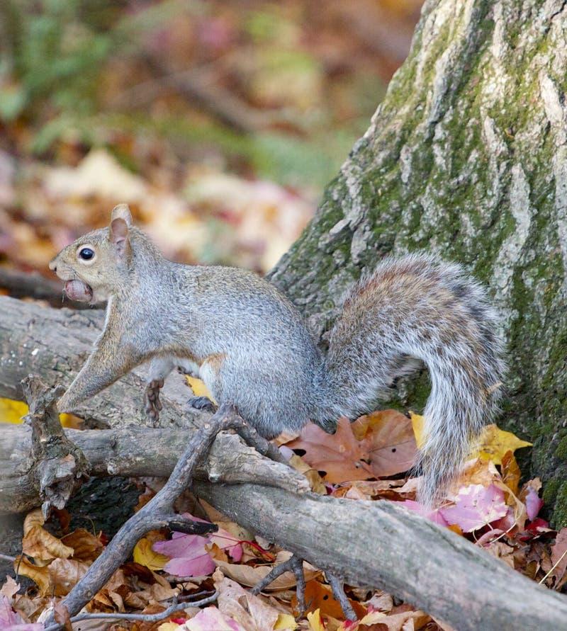 Lo scoiattolo Alimento della riunione per orario invernale fotografia stock