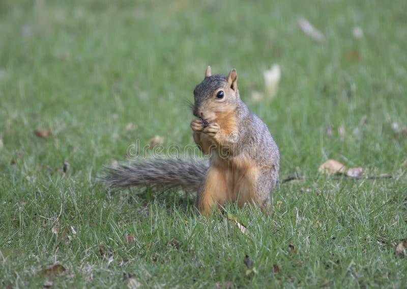 Lo scoiattolo di Fox gode di un dado nell'erba, Dallas, il Texas fotografia stock libera da diritti