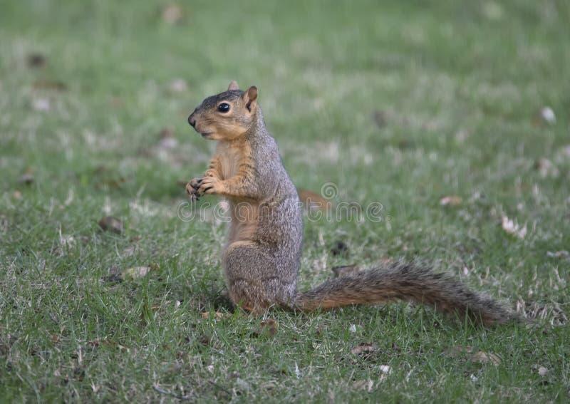 Lo scoiattolo di Fox gode di un dado nell'erba, Dallas, il Texas fotografia stock