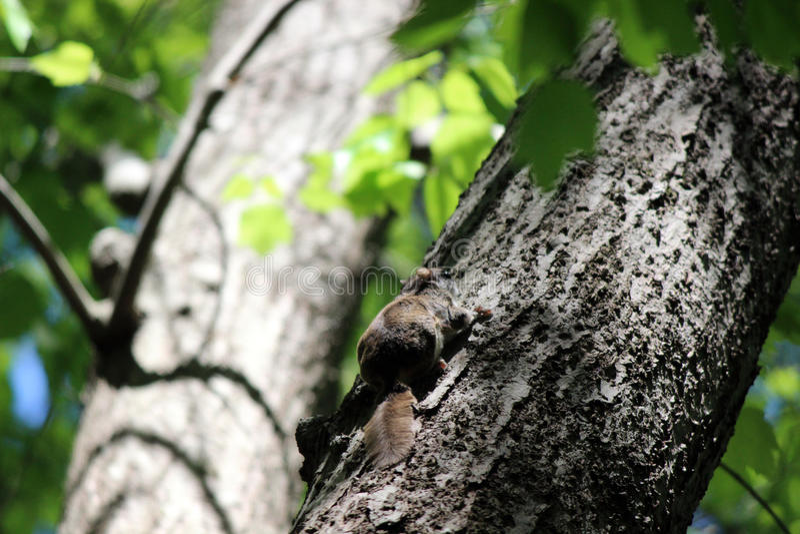 Lo scoiattolo di volo del sud si defila sull'albero fotografia stock libera da diritti
