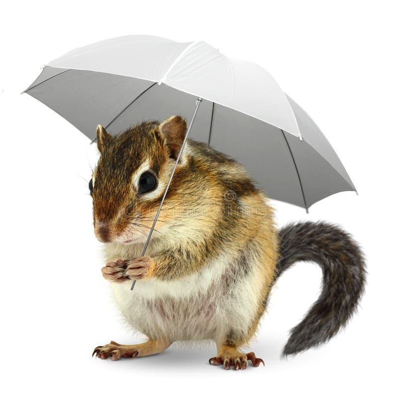 Lo scoiattolo divertente sotto l'ombrello su bianco, sopravvive il concep creativo fotografia stock libera da diritti