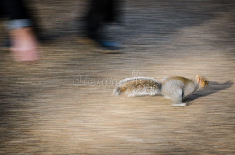 Lo scoiattolo funziona per stare alla larga dall'uomo fotografia stock