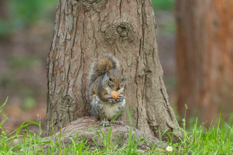 Lo scoiattolo grigio davanti ad un albero mangia una nocciola che lo tiene con immagine stock
