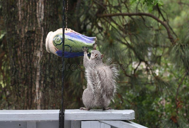 Lo scoiattolo grigio orientale mangia le nocciole ed i semi da un alimentatore dell'uccello immagine stock libera da diritti