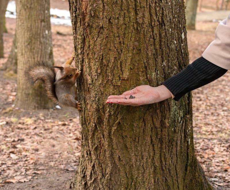 Lo scoiattolo mangia con le sue mani Primavera nel parco di Gatcina fotografia stock