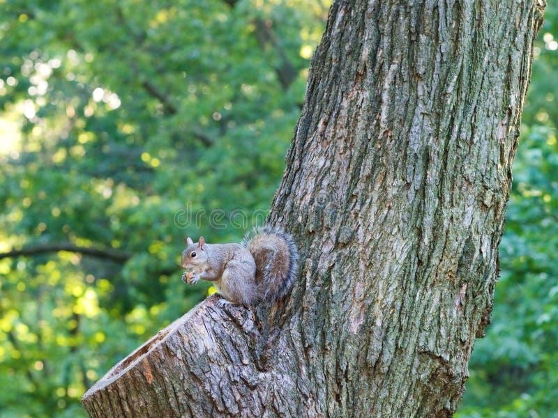 Lo scoiattolo mangia la ghianda sull'albero a Manhattan fotografia stock libera da diritti