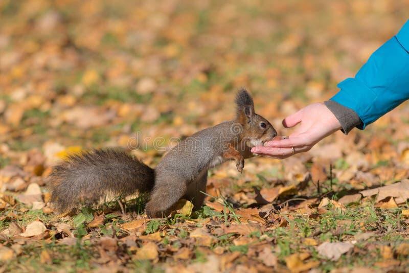 Lo scoiattolo mangia le nocciole immagine stock