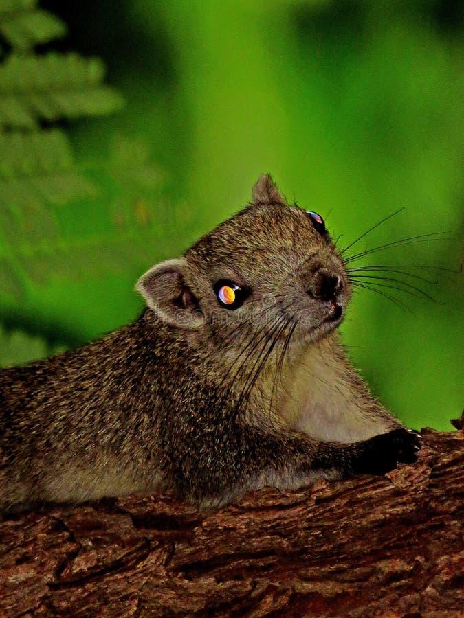 Lo scoiattolo osserva nello scuro fotografia stock libera da diritti