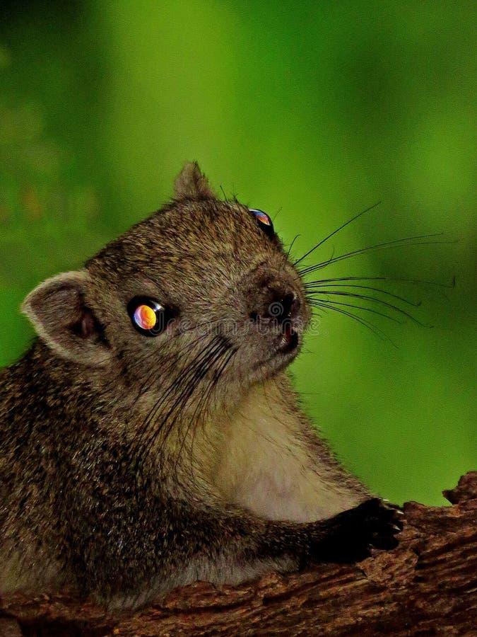 Lo scoiattolo osserva nello scuro fotografia stock