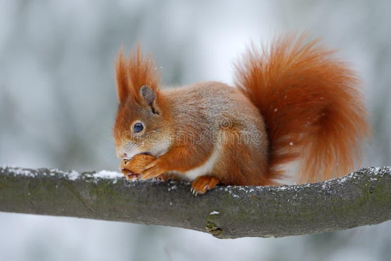 Lo scoiattolo rosso arancio sveglio mangia una nocciola nella scena dell'inverno con neve, repubblica Ceca immagini stock