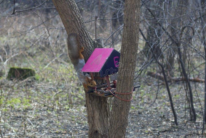 Lo scoiattolo scala un albero nell'alimentatore fotografie stock