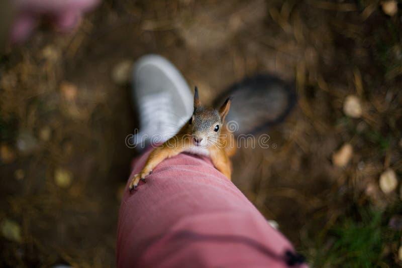 Lo scoiattolo selvaggio coraggioso curioso con una coda lanuginosa scala sul foo fotografia stock