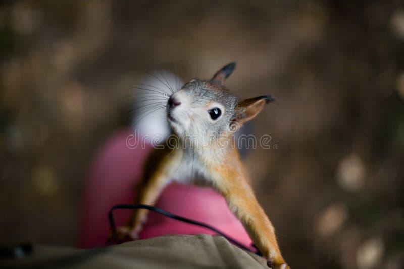 Lo scoiattolo selvaggio coraggioso curioso con una coda lanuginosa scala sul foo fotografie stock libere da diritti
