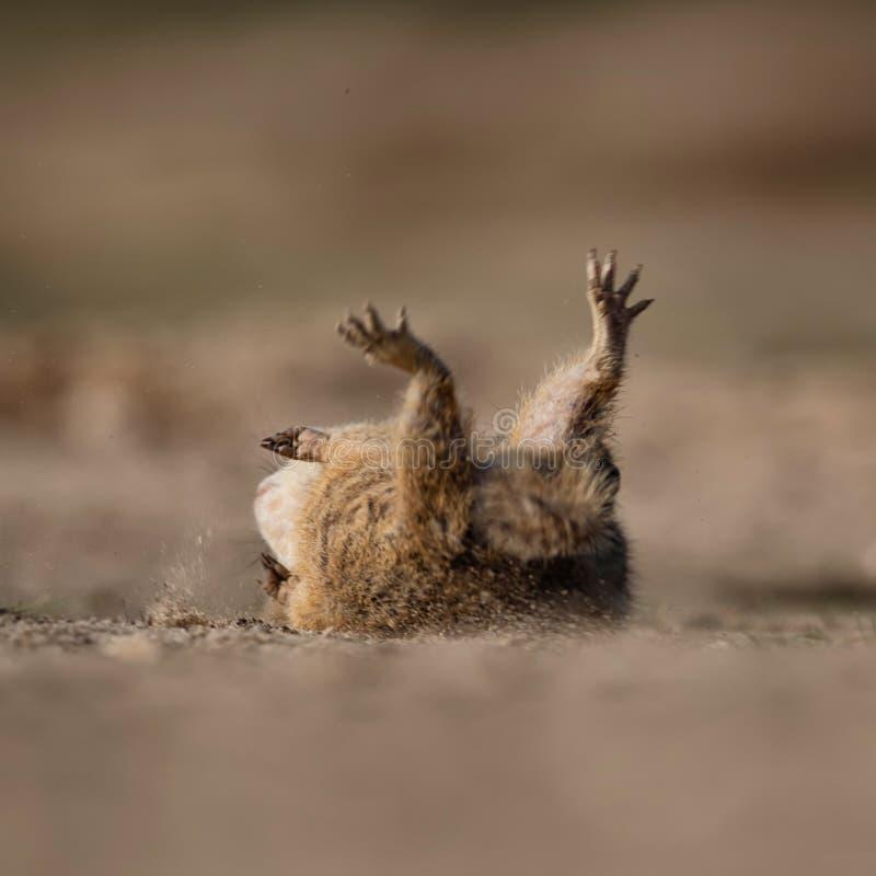 Lo scoiattolo sta cadendo sulla sabbia dopo la lotta fotografia stock libera da diritti