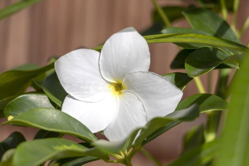 Lo sfondo naturale con i fiori bianchi di plumeria si chiude su nel giardino della flora tropicale esotica immagine stock libera da diritti