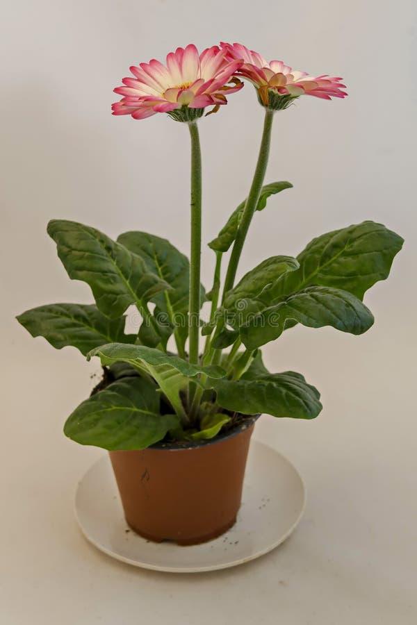 Lo sfondo naturale dalla rosa di fioritura di colore della miscela e il gerber bianco fioriscono nel vaso immagini stock