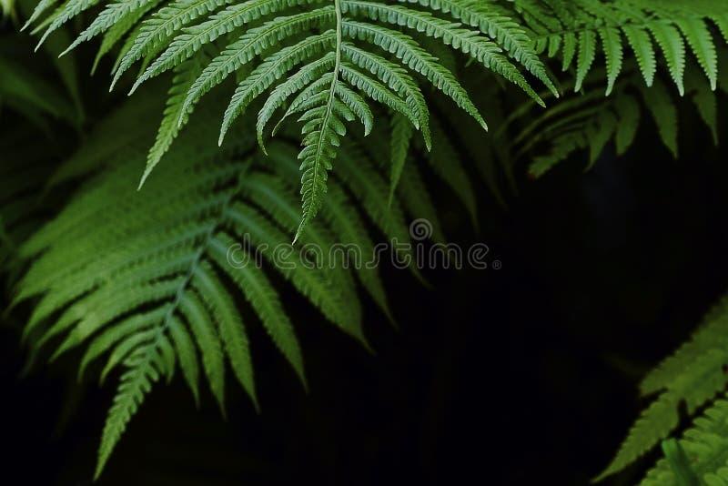 Lo sfondo naturale della felce lascia nel telaio scuro dei toni la struttura fotografie stock