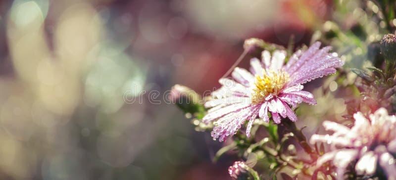Lo sfondo naturale di autunno con il fiore lilla del crisantemo con le gocce di rugiada, luci del bokeh dell'alba di caduta abbel fotografia stock libera da diritti