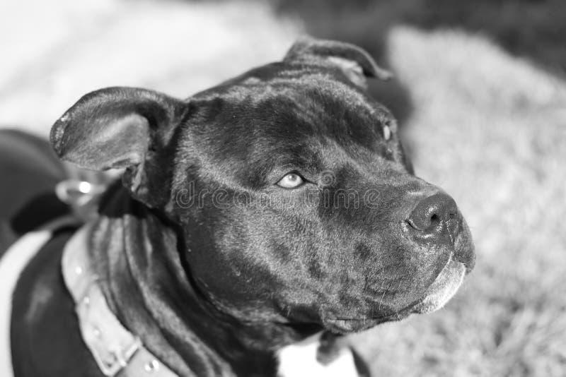 Lo sguardo del cane fotografie stock