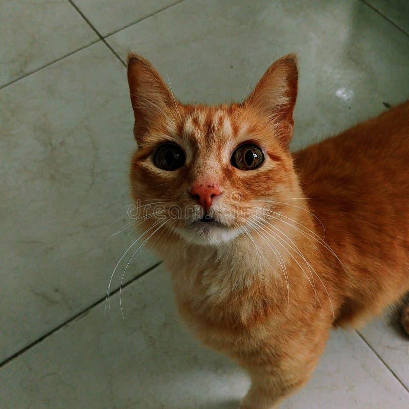 Lo sguardo del gatto immagine stock libera da diritti