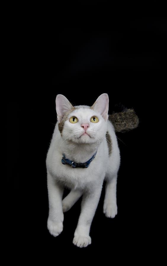 Lo sguardo del gatto e aspetta per saltare fotografia stock