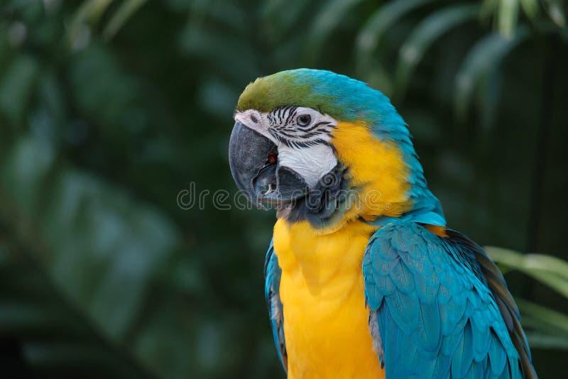 Lo sguardo del pappagallo immagine stock