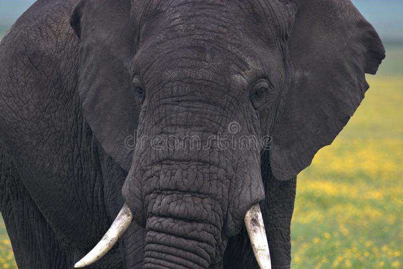 Lo sguardo dell'elefante di toro radrizza noi fotografia stock